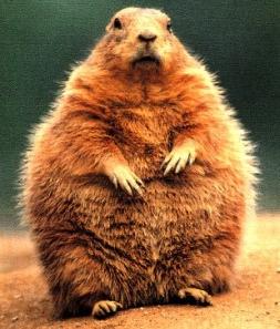 Chubby Groundhog