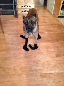 Put socks on the dog